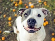 Мифы о бойцовских собаках