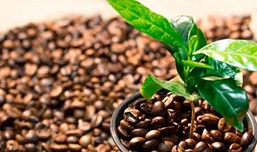 Выращиваем кофейное дерево в домашних условиях
