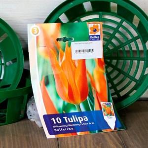 Тюльпан Баллерина(10)