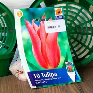Тюльпан Мариэтт (10)