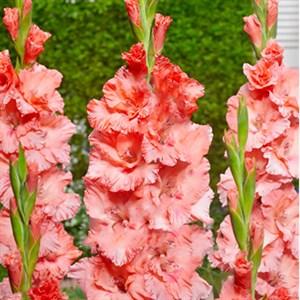 Гладиолус Крупноцветковый Байла Морена (7)