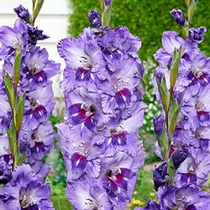 Гладиолус Крупноцветковый Биг Герл (7)