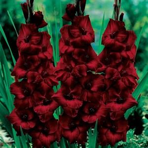 Гладиолус Крупноцветковый Блэк Бьюти (10)