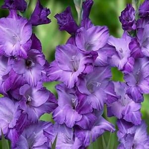Гладиолус Крупноцветковый Блю Тропик(7)