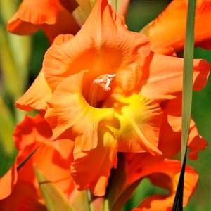 Гладиолус Крупноцветковый Ботсвана (10)