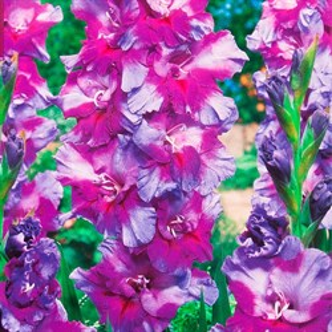 Гладиолус Крупноцветковый Печора (7)